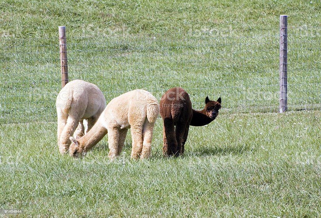 Three Alpacas (Vicugna pacos) stock photo