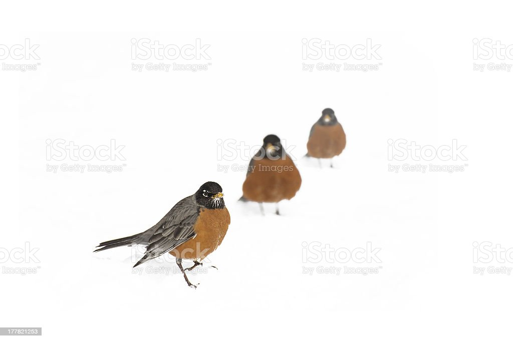 Three american robins stand on sonw royalty-free stock photo
