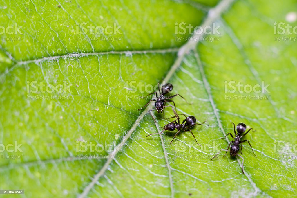 Three ants on a leaf stock photo