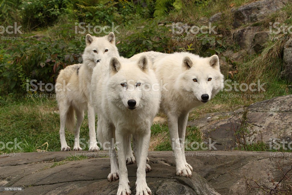 Three Arctic Wolves in Autumn royalty-free stock photo