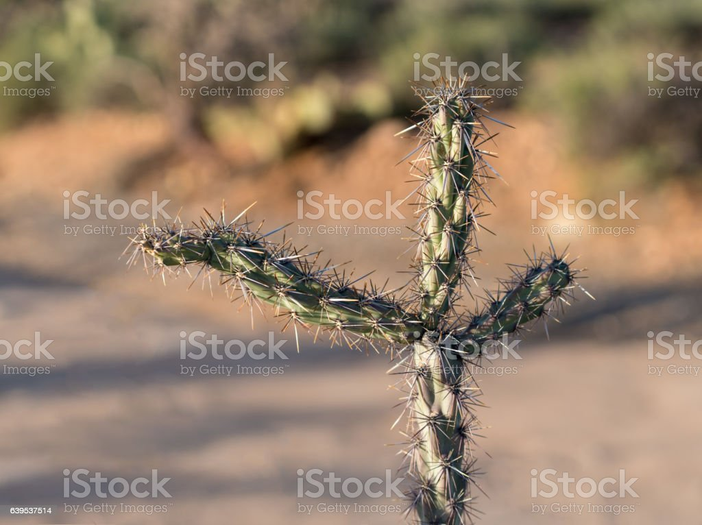 Three arms in close up on Cholla cactus stock photo