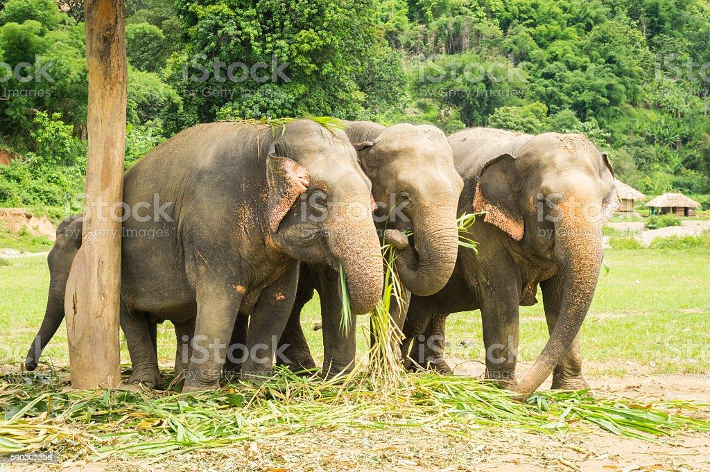 Three Asian Elephants Eating In Thailand Sanctuary stock photo
