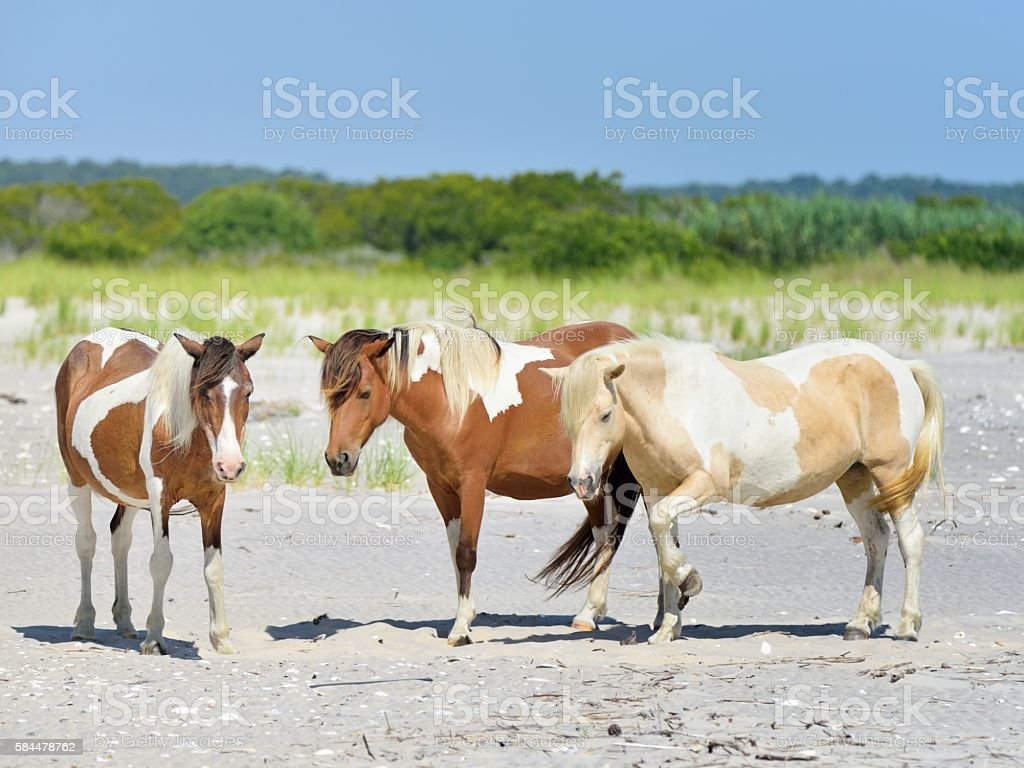 Three Assateague Mares stock photo