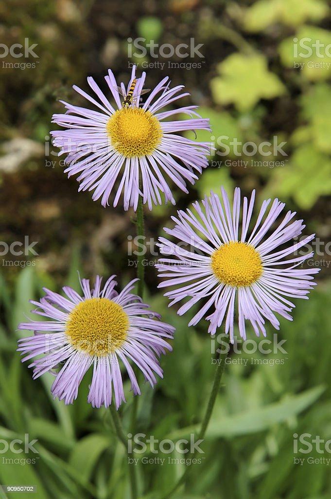 three Aster alpinus royalty-free stock photo