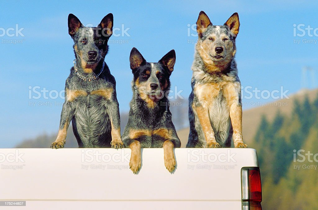 Three australian cattle dogs on a pickup, front view royalty-free stock photo