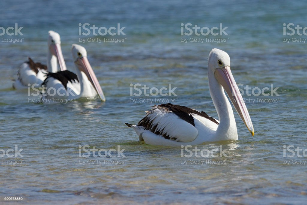 Three Australian Pelicans stock photo