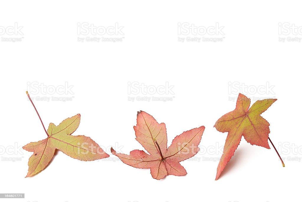 Three autumn leaves, Liquidambar styraciflua with shadows royalty-free stock photo