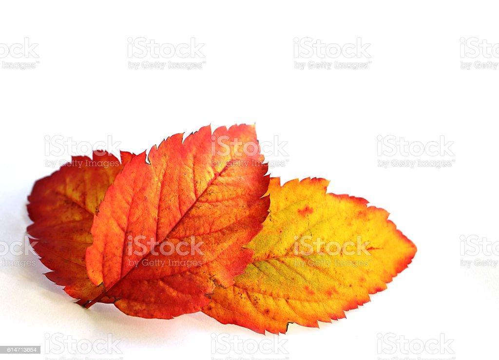 Three autumn leaves on white stock photo
