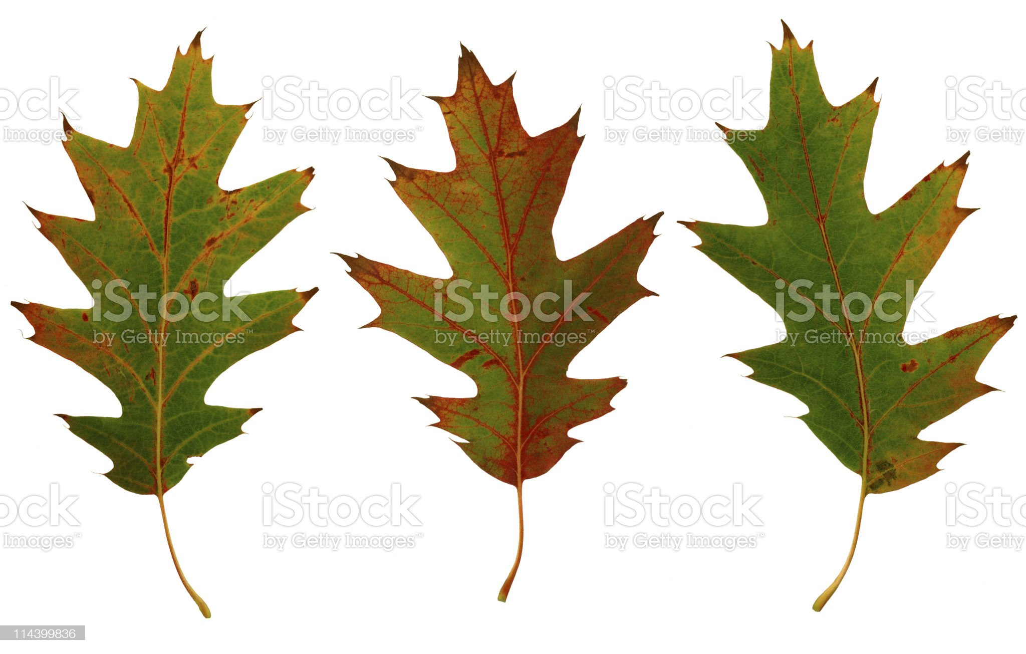 Three Autumn Leaves royalty-free stock photo