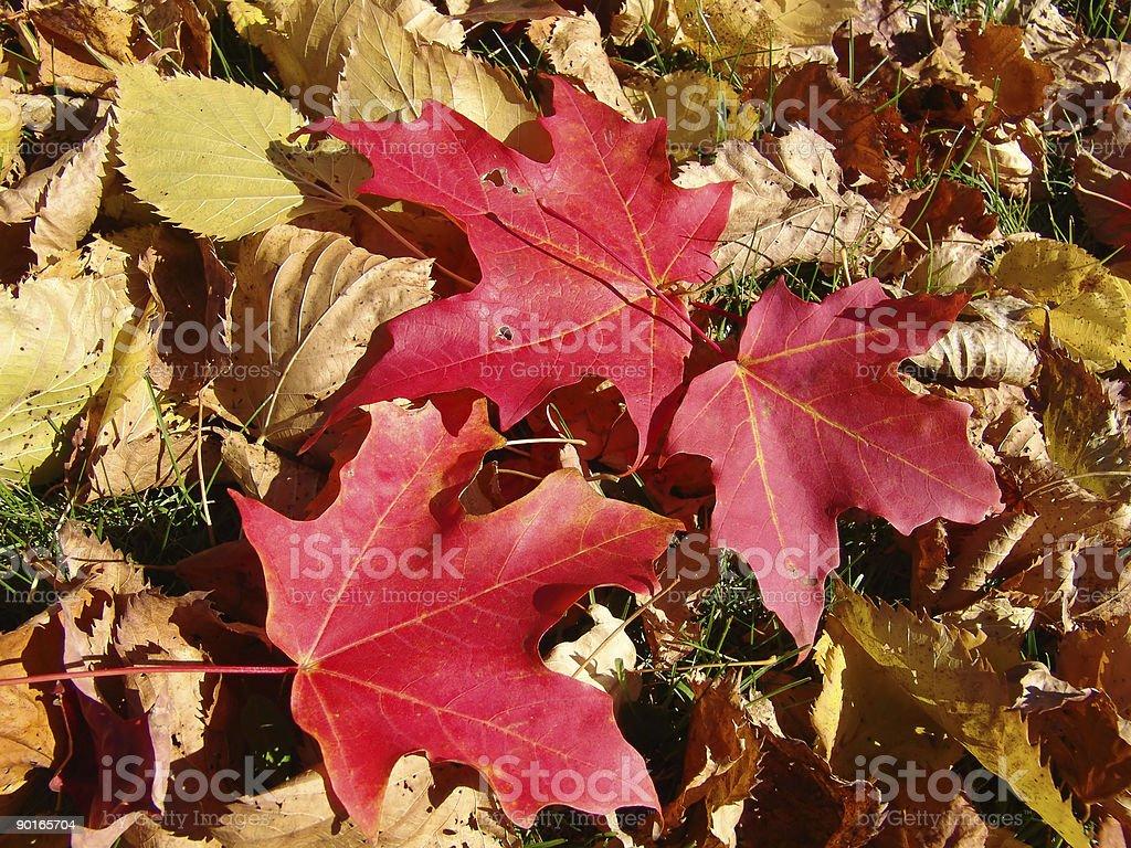 Three Autumn Leaves royalty-free stock photo