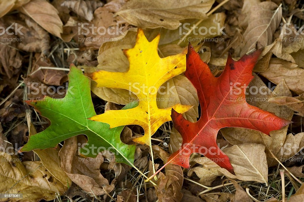 three autumn leaves (green, yellow and red) royalty-free stock photo
