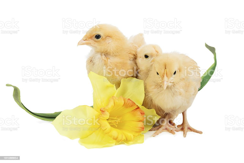 Three baby chicks with a flower royalty-free stock photo