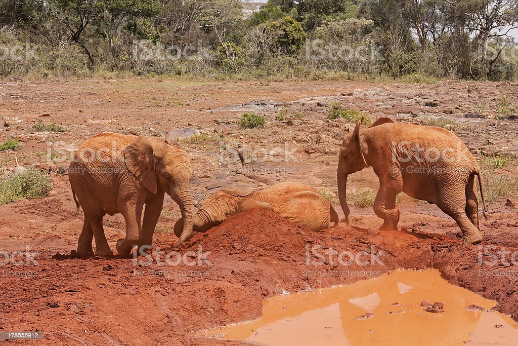 Three baby elephants play each other on the clay heap stock photo