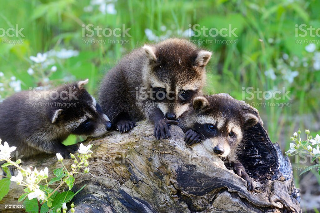 Three baby raccoons play near a hollow log. stock photo