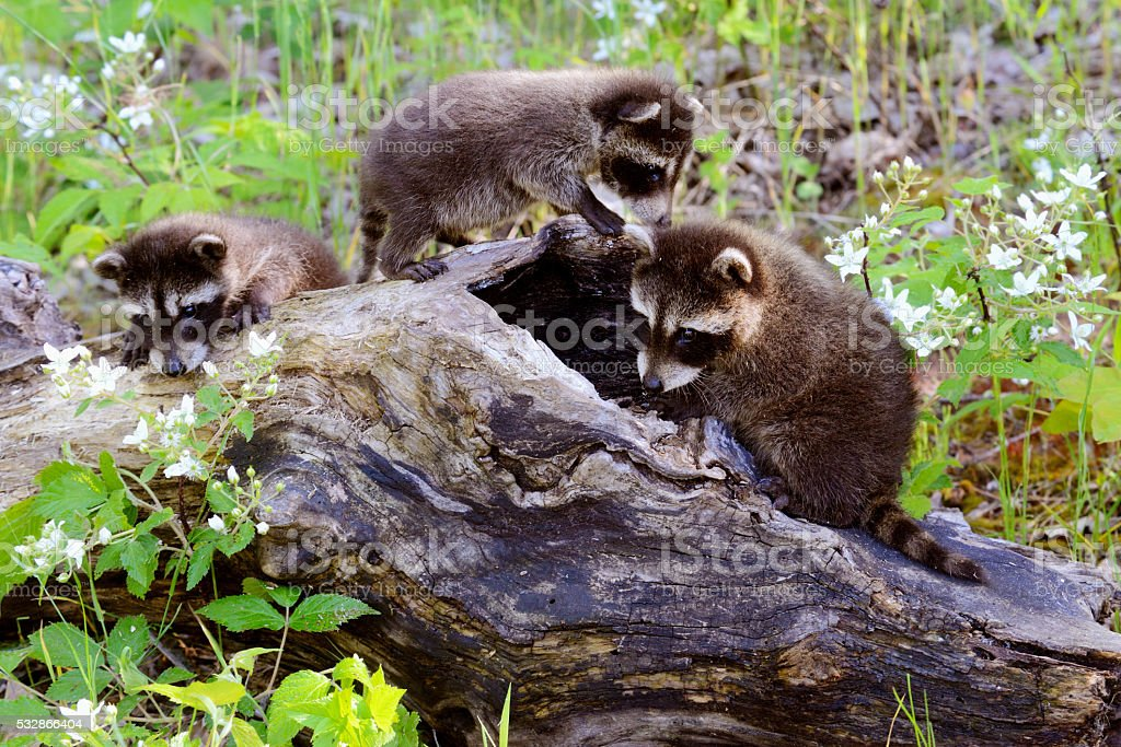 Three baby raccoons playing on a hollow log. stock photo