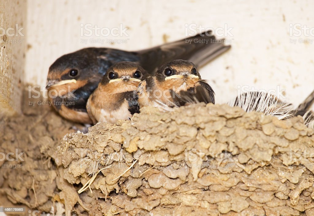 Three baby Swallow Birds in mud nest, watching photographer royalty-free stock photo
