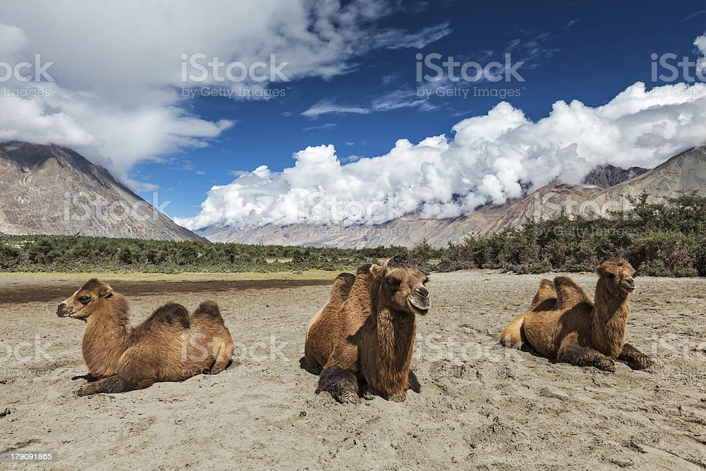 Three Bactrian camels in Nubra Valley, Ladakh royalty-free stock photo