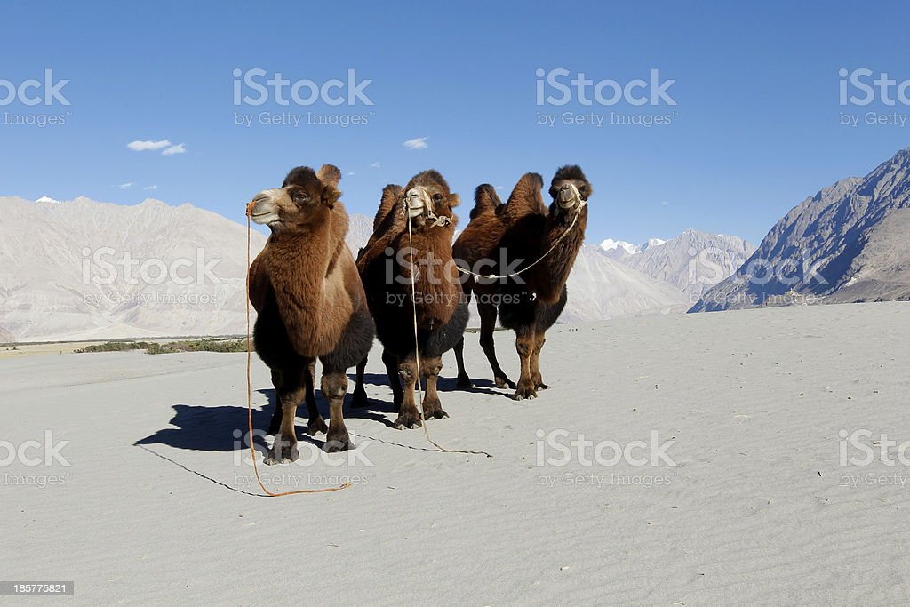 Three Bactrian camels in sand dunes royalty-free stock photo