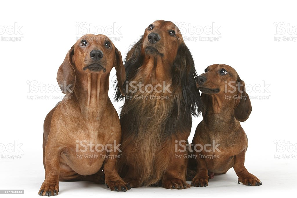 three badger dog royalty-free stock photo