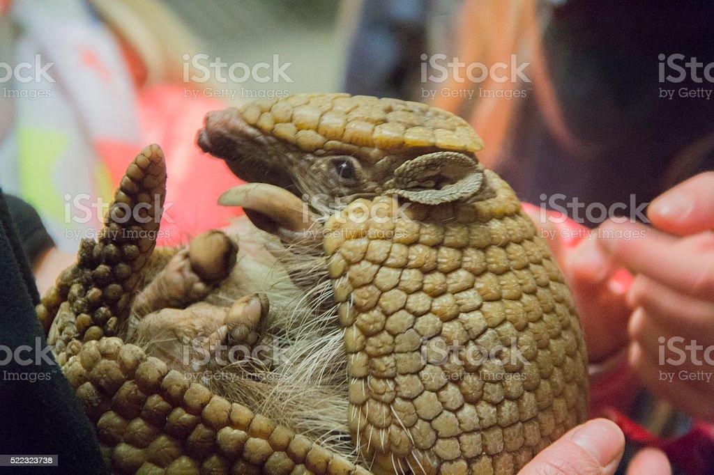 three banded armadillo stock photo