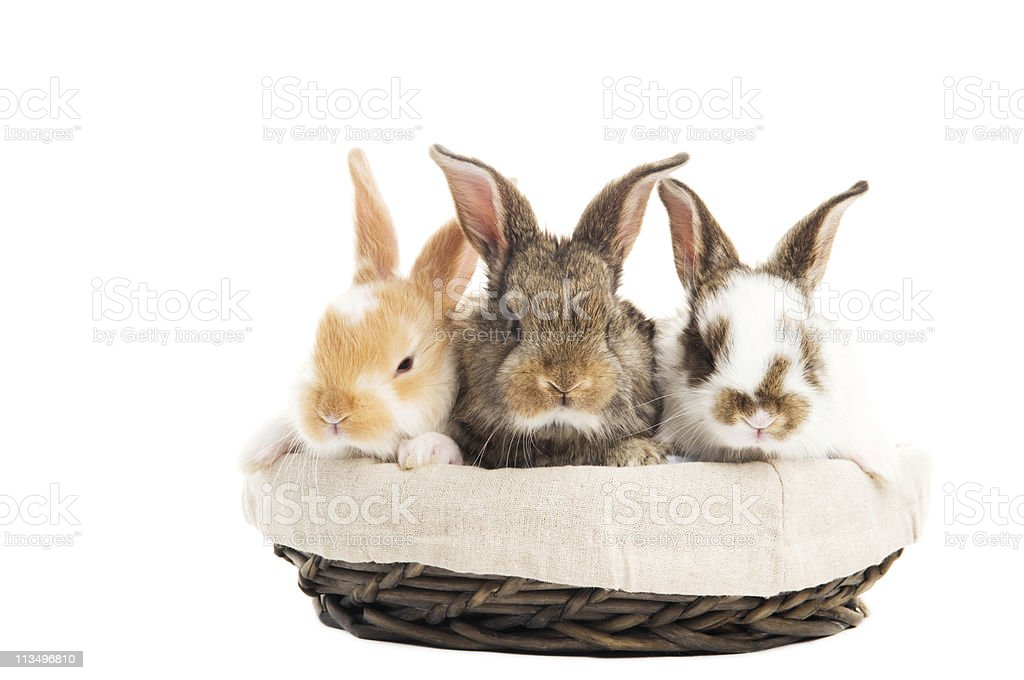 three banny rabbit in basket isolated stock photo