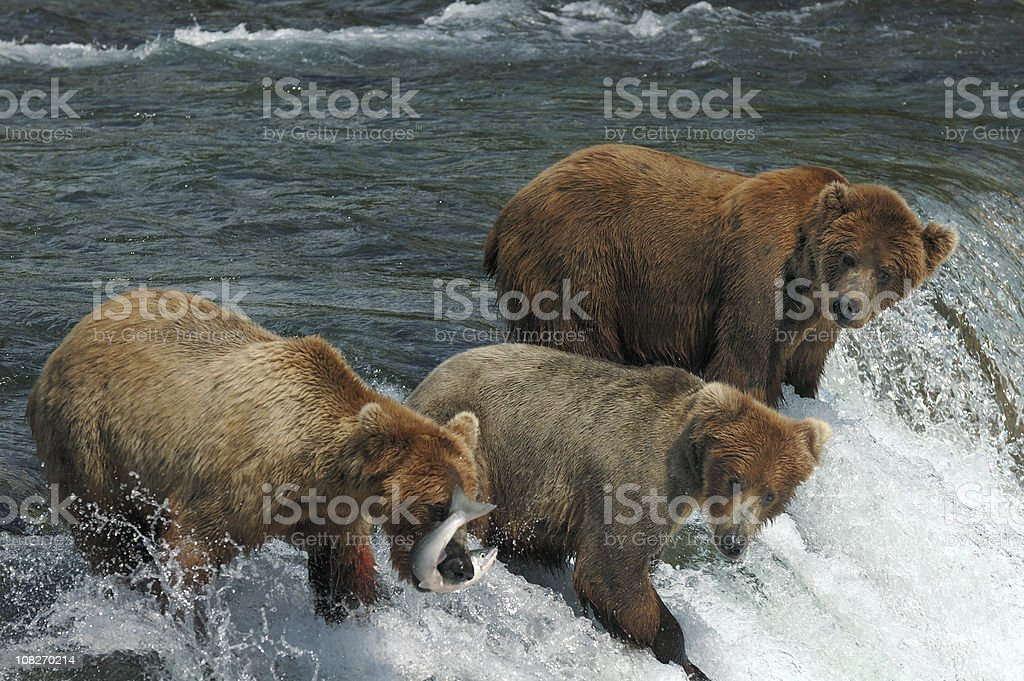 Three bears compete for catching salmon at waterfall stock photo