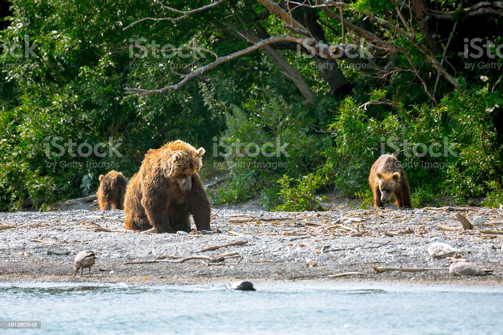 Three Bears in a Wild Beach stock photo