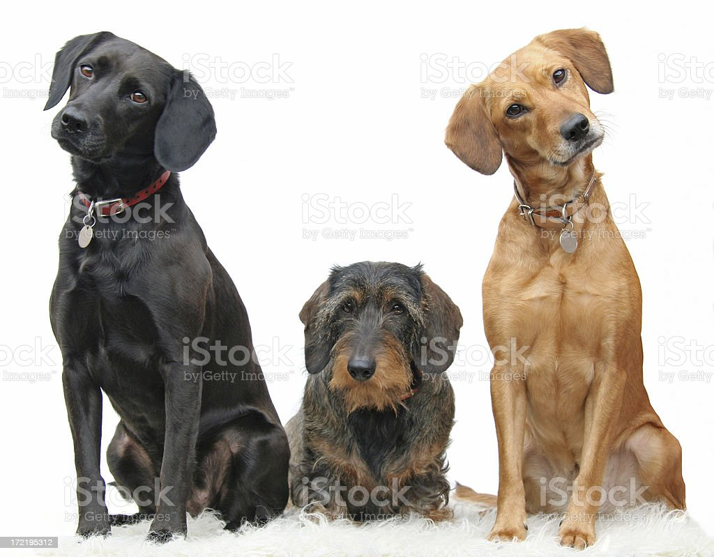 Three beautiful dogs sitting adorably in a line stock photo