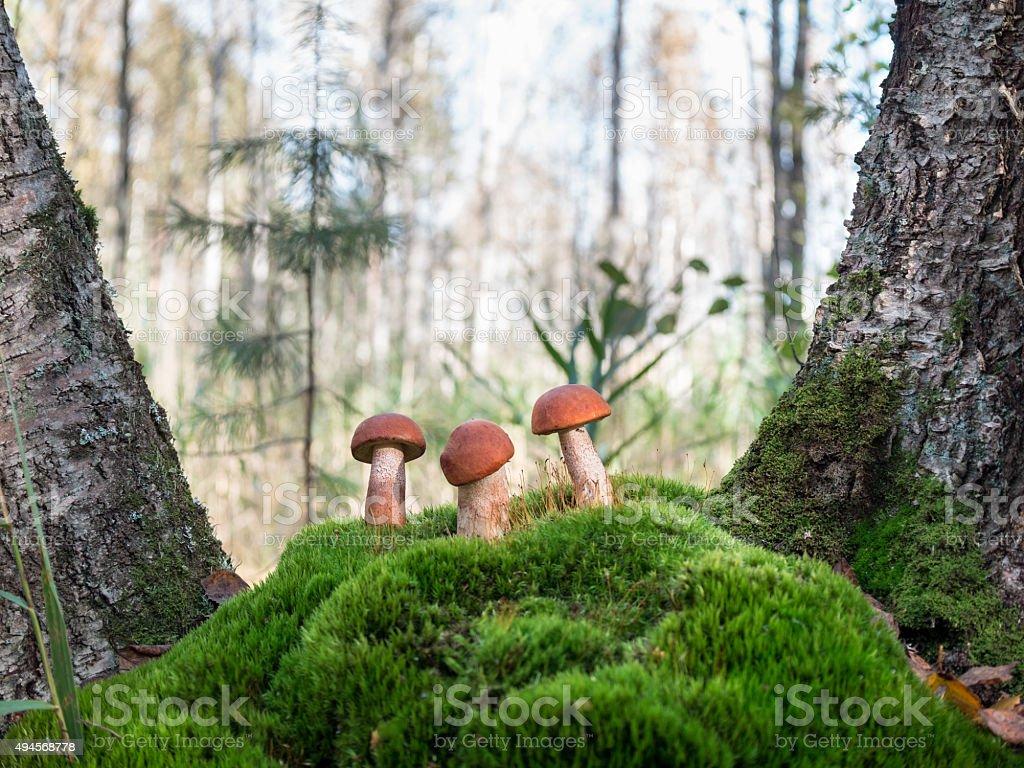 Three beautiful orange-cap boletus standing on the hummock of moss stock photo