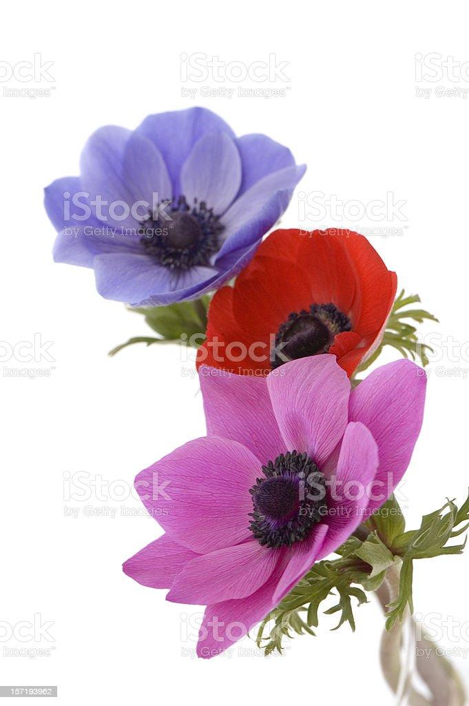 Three Beautiful Poppies royalty-free stock photo