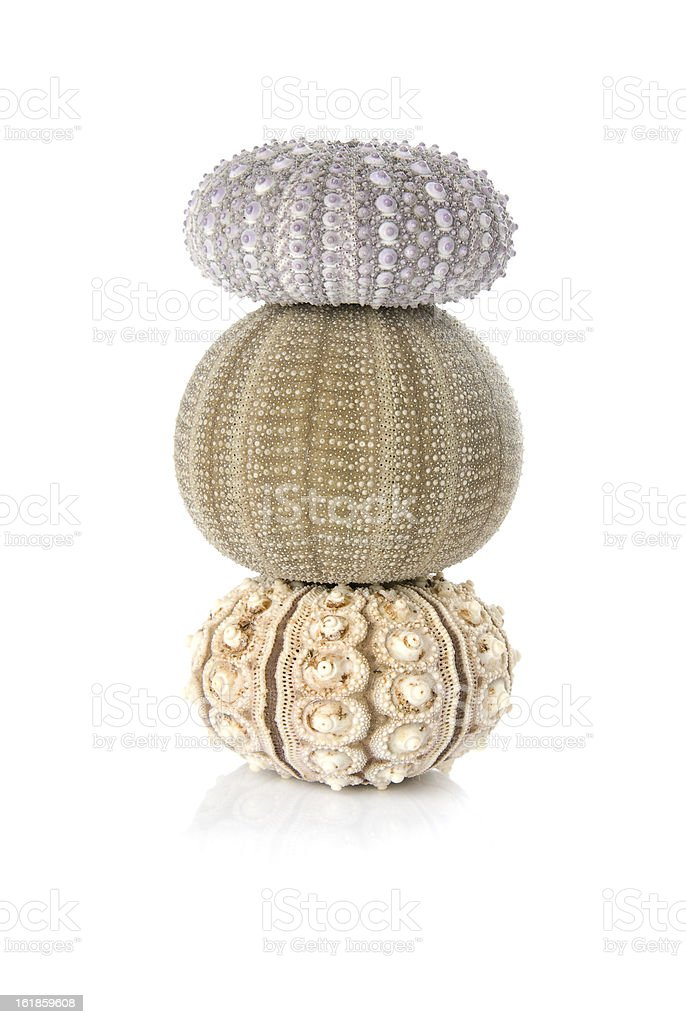 Three beautiful sea urchins balancing on a white background. royalty-free stock photo