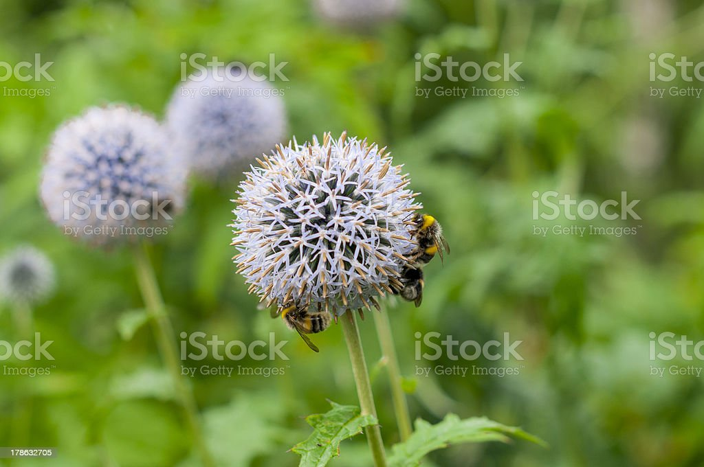 three bee on blue flower royalty-free stock photo