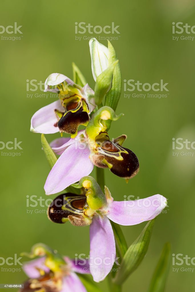 Three Bee Orchid Flowers on Stem royalty-free stock photo