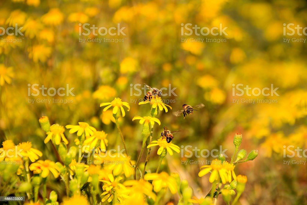 Three bees collecting nectar on yellow wild flowers stock photo