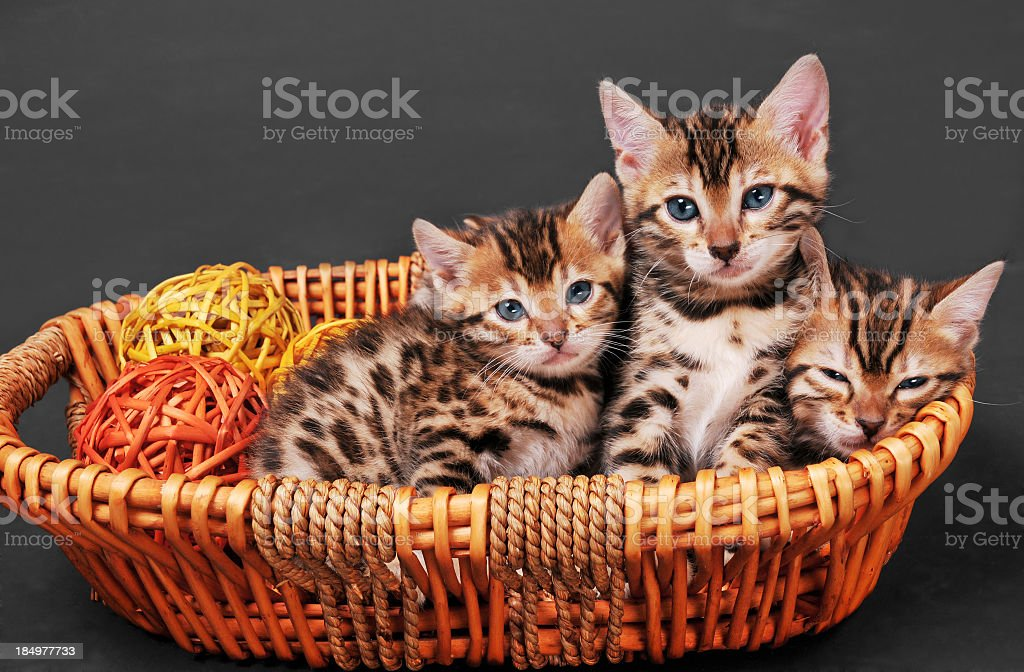 Three Bengal kittens in a basket stock photo