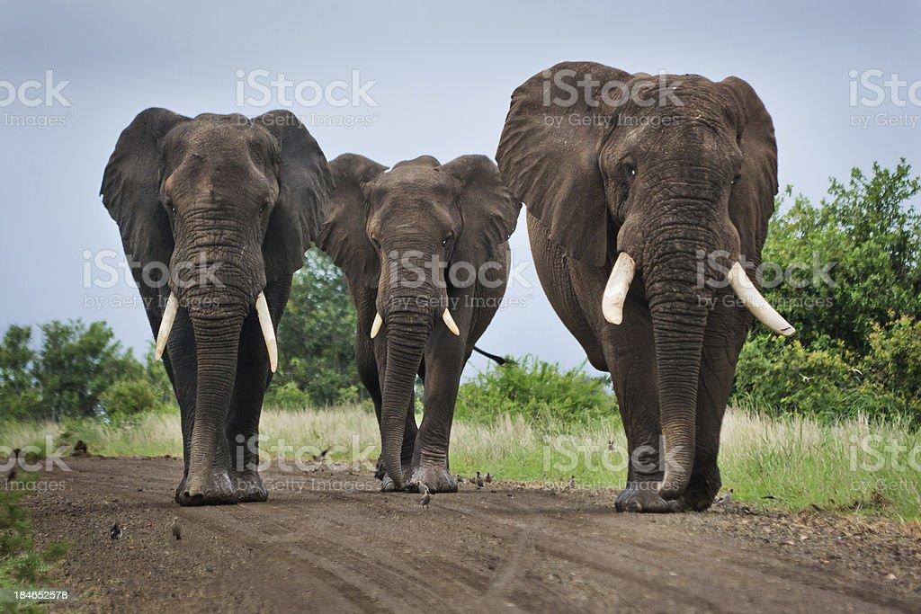 Three Big Elephants on a Dirt Road royalty-free stock photo