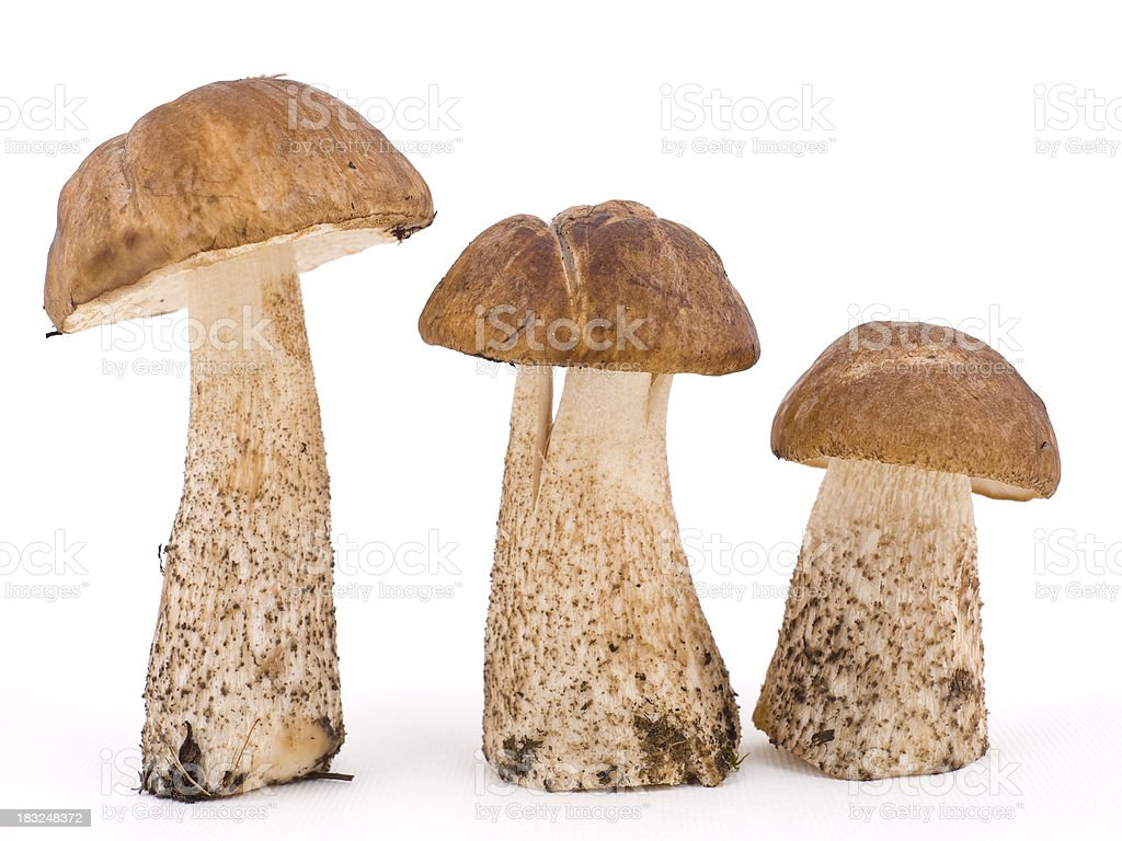 Three Birch Bolete royalty-free stock photo