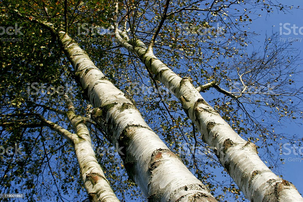 Three Birch Trees Hugging the Sky royalty-free stock photo
