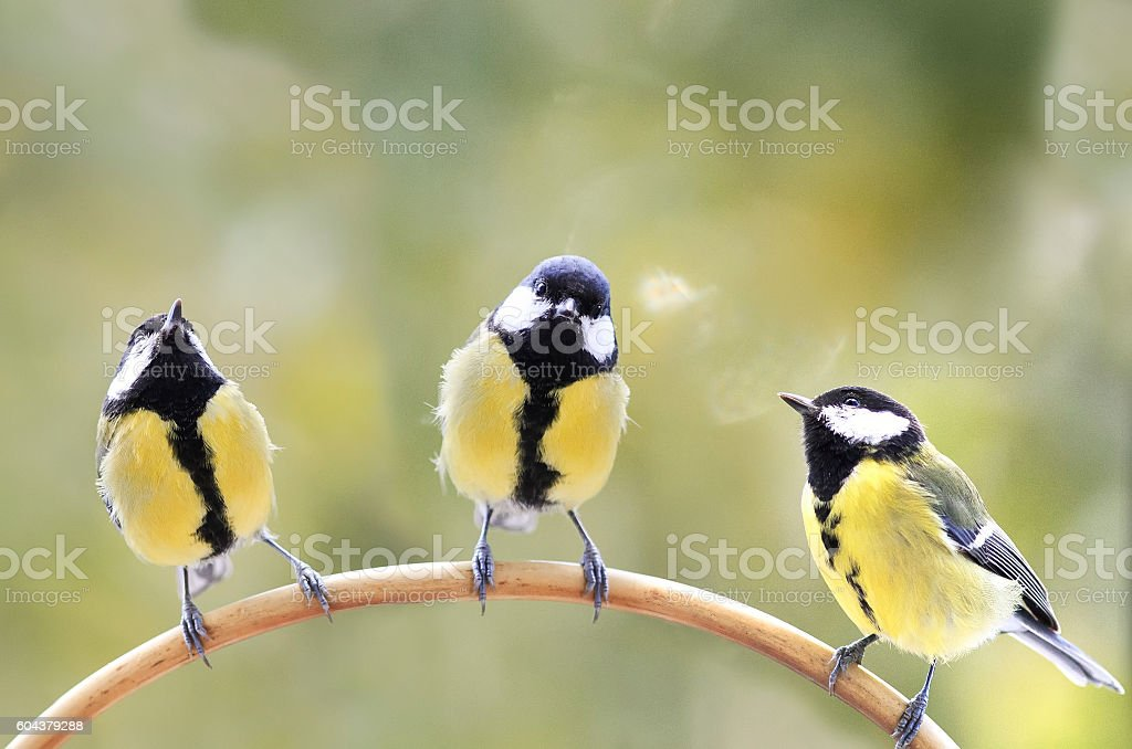 three birds of the tit sitting on a branch stock photo