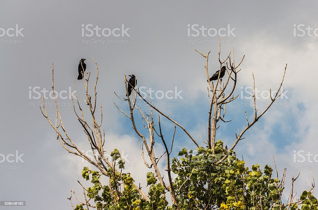Three black crows on a branch stock photo