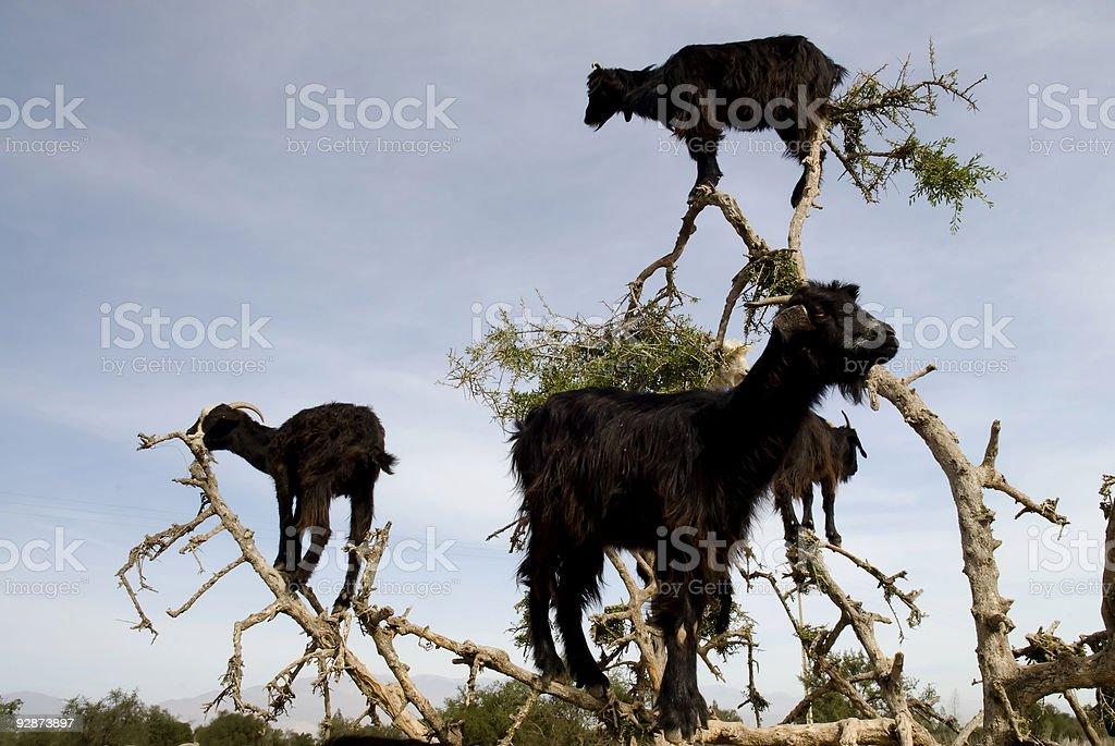 Three black goats in an Argan tree stock photo