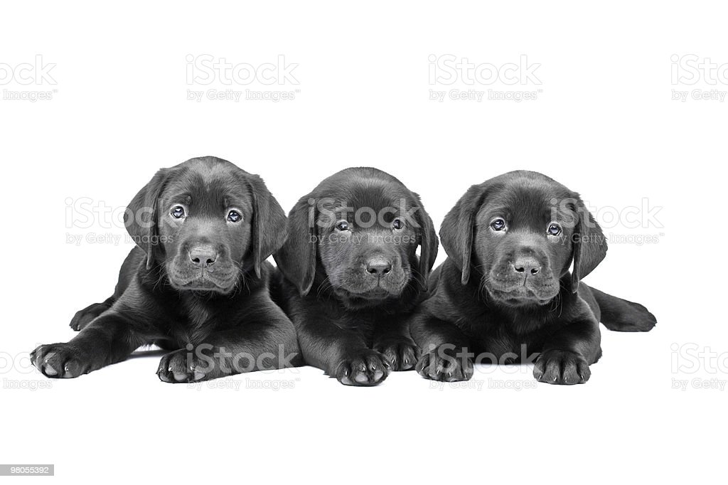 Three black lab puppies, two  months old stock photo