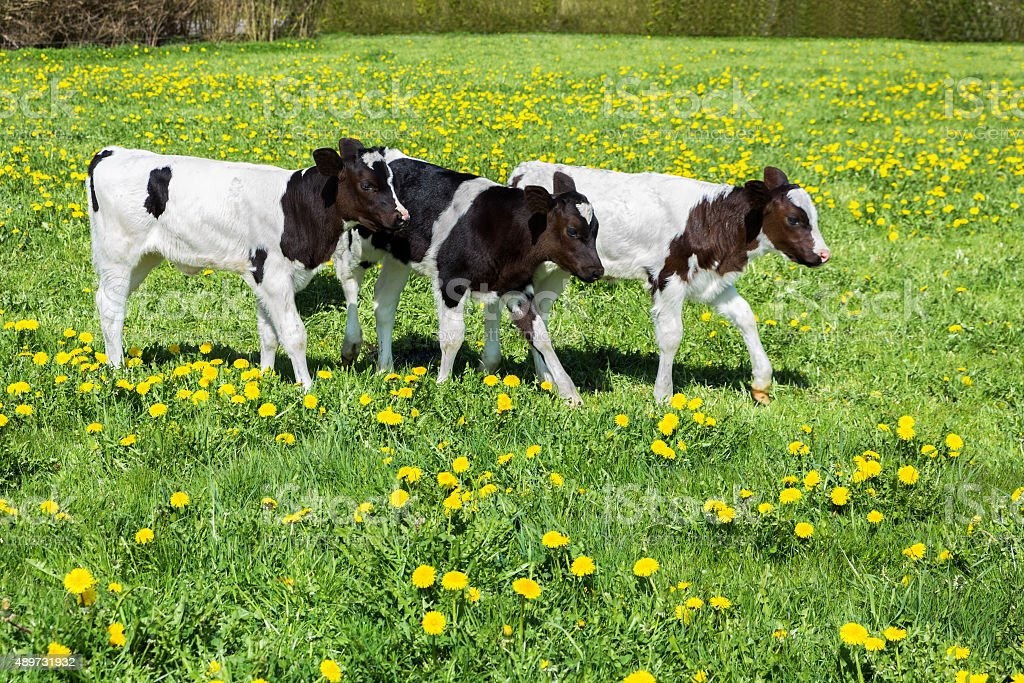 Three black white calves walk in green meadow with dandelions stock photo