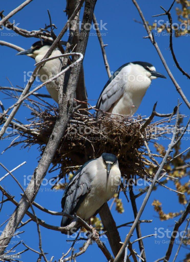 Three Black-Crowned Night Herons Guarding the Nest stock photo