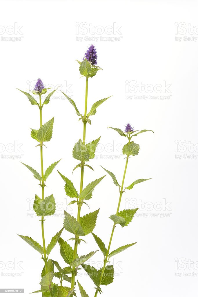 Three blades of anise hyssop on a white background royalty-free stock photo
