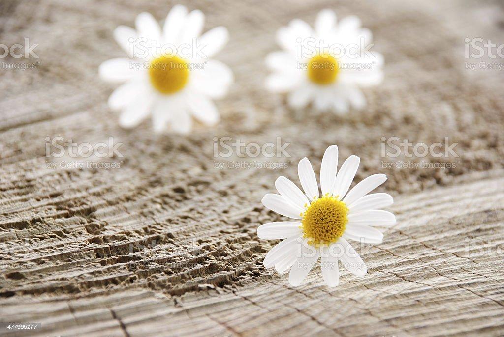 three blossoms royalty-free stock photo