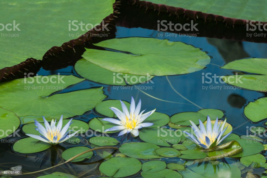 Three Blue Lotus of Egypt, Nymphaea Caerulea Waterlilies stock photo