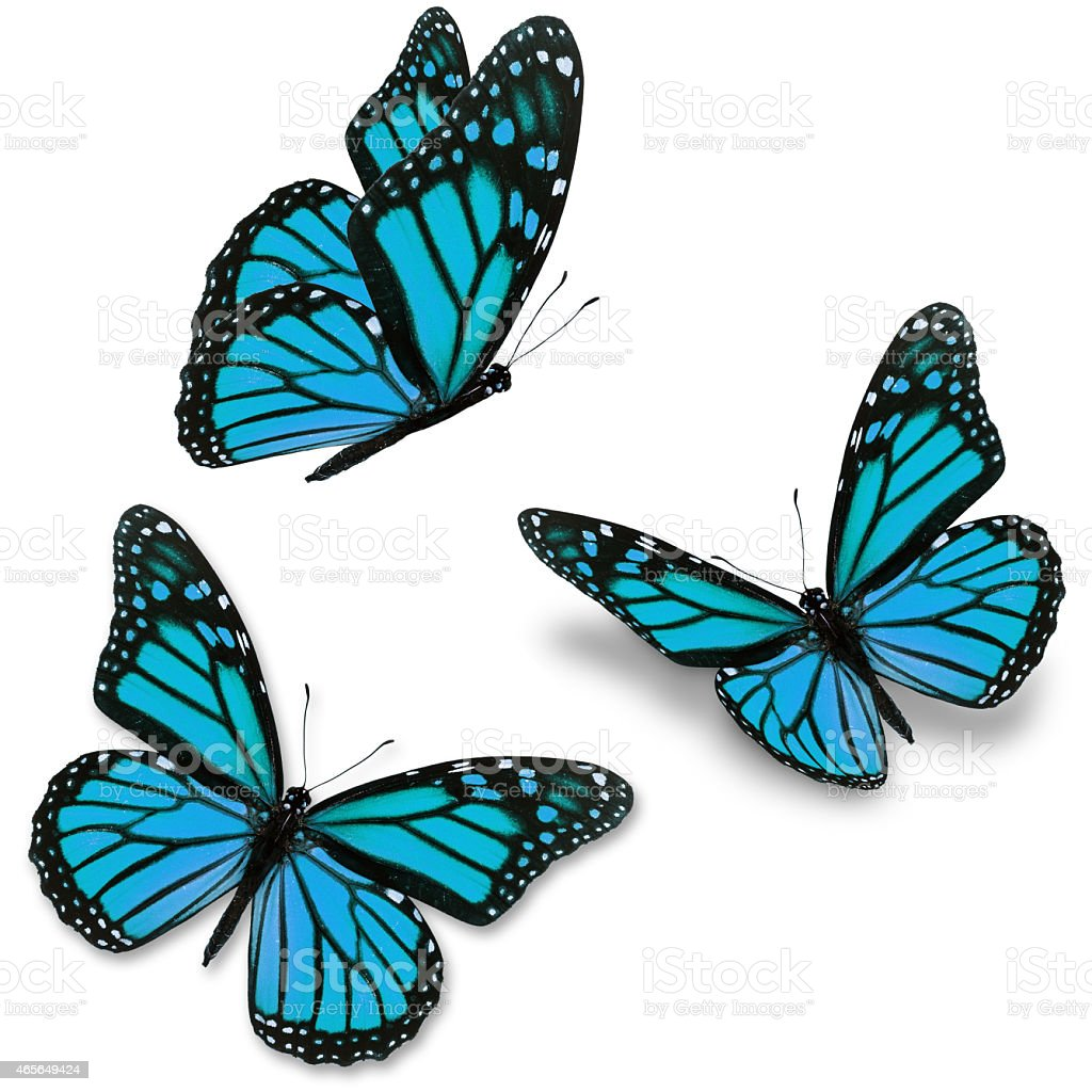 Three blue monarch butterflies on a white background stock photo