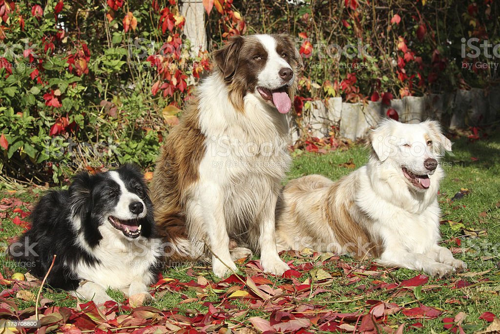 Three border collies in red leaves royalty-free stock photo