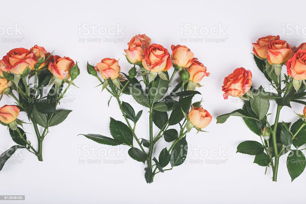 Three branches of roses close up on white background stock photo